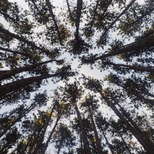 Looking up through a pine forest canopy
